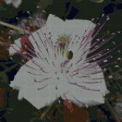 schemi_misti/fiori/cappero_1_165x165.jpg